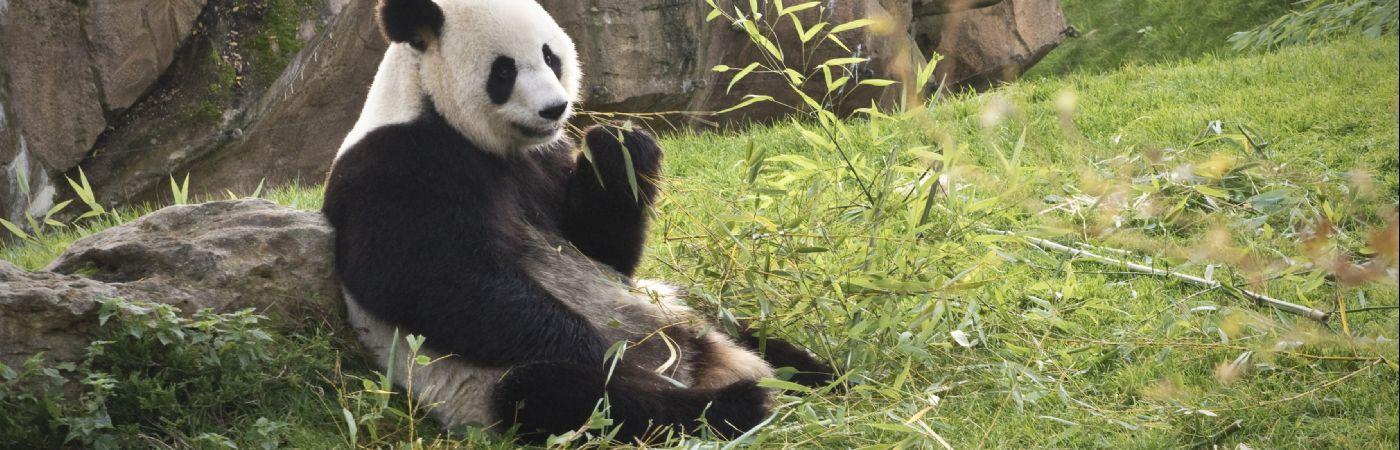 Panda géant à Beauval