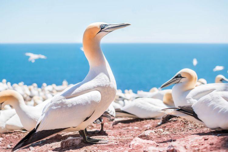 Fous de Bassan sur l'île Bonaventure
