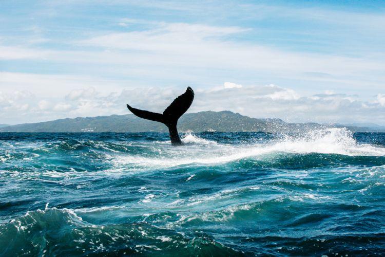Baleine dans la baie de Samana