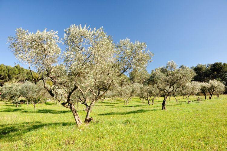 Oliveraie en Provence